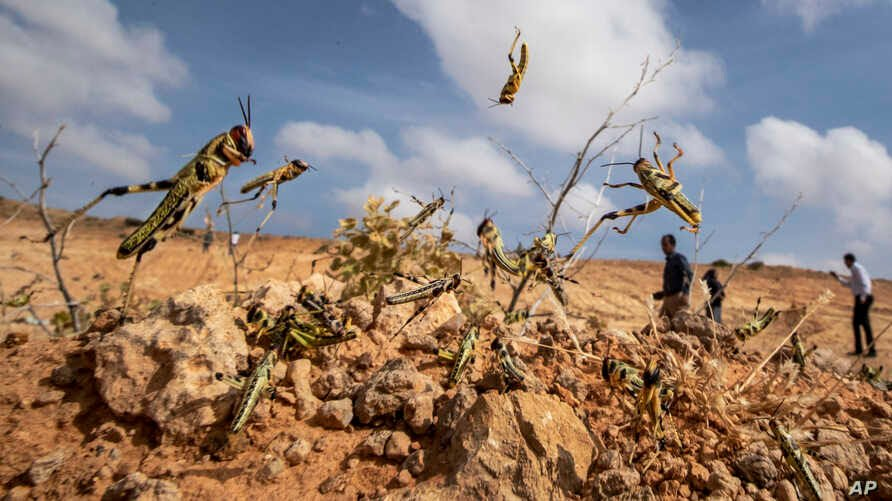 Crops destroyed as India faces worst locust attack in 27 ...